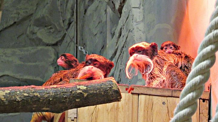 Опять пополнение: у усатых обезьян в Новосибирском зоопарке родились детёныши