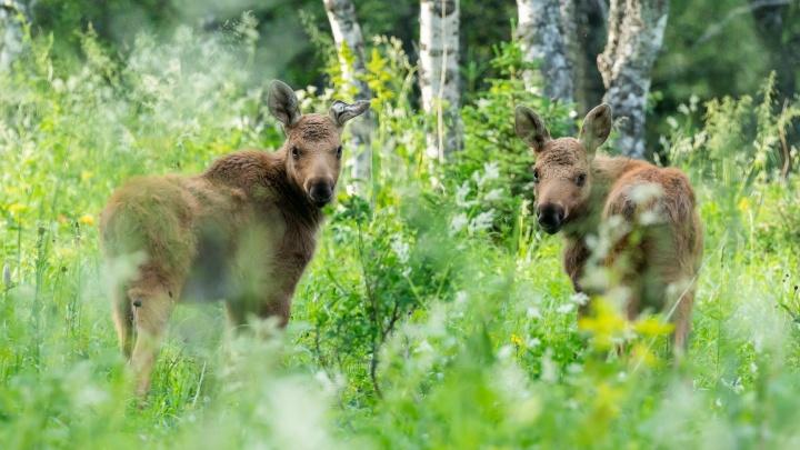 Путешественник из Уфы о встрече с лосями: «Позировать соглашался только любопытный молодняк»