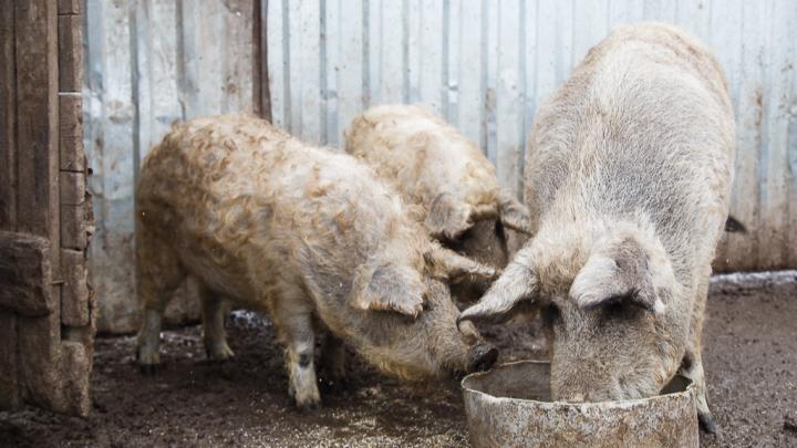 «Меньше мяса и молока»: в Волгоградской области вымирает птица на фоне роста числа свиней