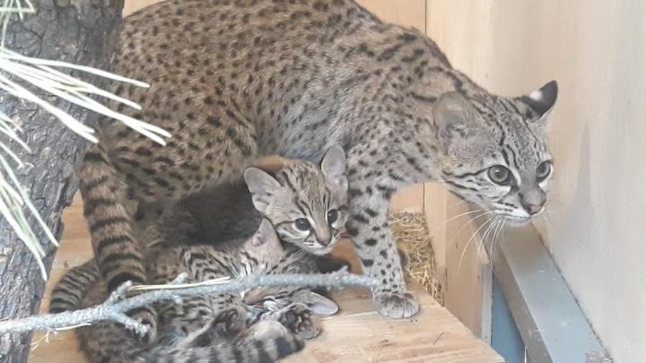 У изящных кошек Жоффруа из зоопарка впервые родились детёныши