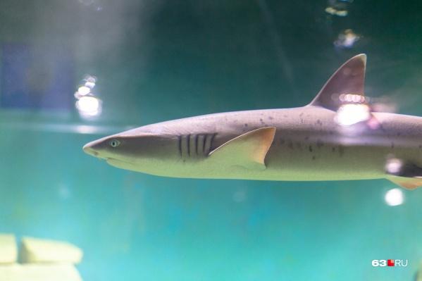 Несмотря на небольшие размеры, эти акулы способны укусить человека