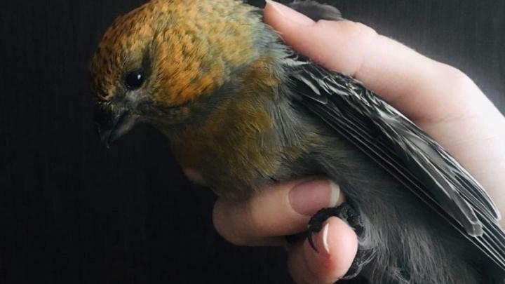 В Новосибирске о стёкла начали разбиваться «финские попугаи»