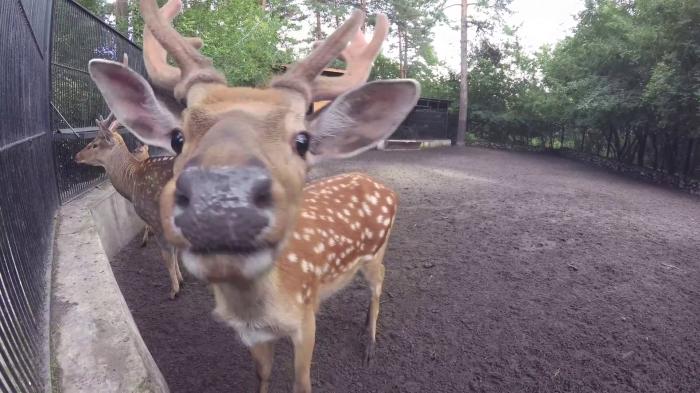 Уссурийский пятнистый олень из Новосибирского зоопарка в клипе Андрея Болотина