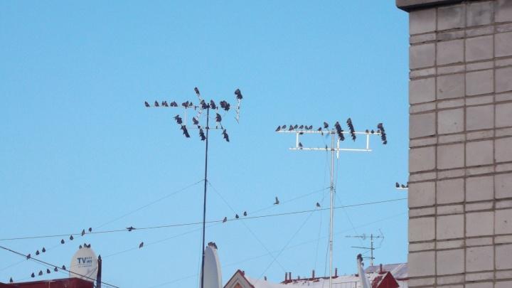Греются на солнце: стаи свиристелей устроили сборища на антеннах на крышах Новосибирска