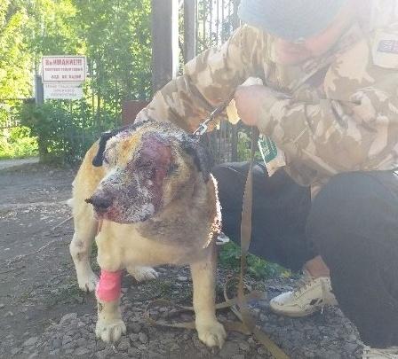 Пёс Бим, выживший при пожаре в пермском конном клубе «Кавалерия», пошёл на поправку