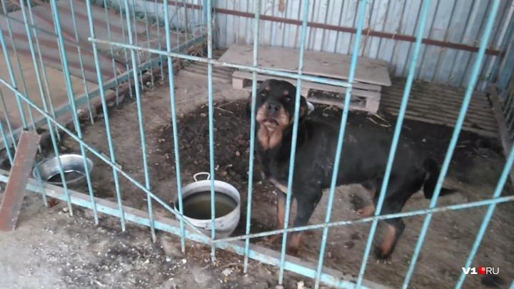 «Больше двух месяцев освобождали собаку»: брошенного в поле больного ротвейлера забрали хозяева