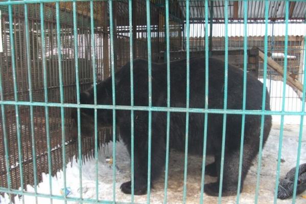 Медведя содержали в двух клетках, чтобы посетители не могли дотянуться до него руками