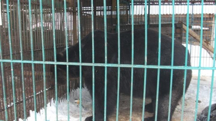 «Хотела дать вкусняшку»: медведь откусил женщине руку во время новогоднего корпоратива
