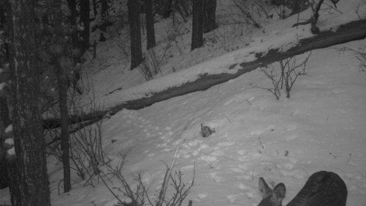 В фотоловушку на «Столбах» попался исчезающий безрогий олень