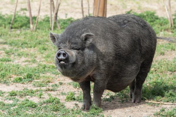 Вирус африканской чумы смертельно опасен для свиней и чреват убытками для их владельцев