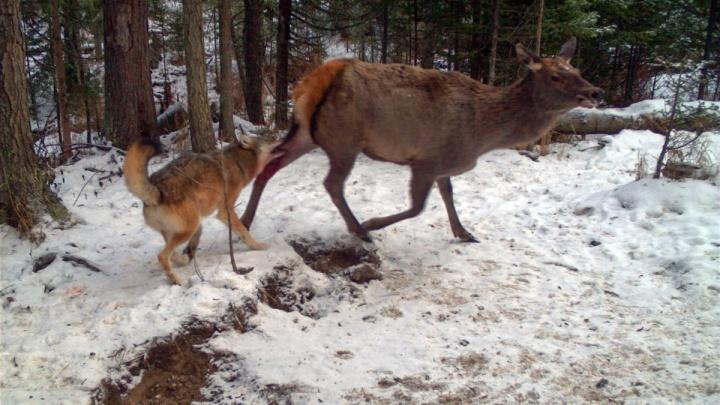 На «Столбах» впервые засняли, как семья волков охотится на марала