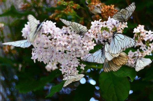 Белые бабочки заполонили Новосибирск и окрестности