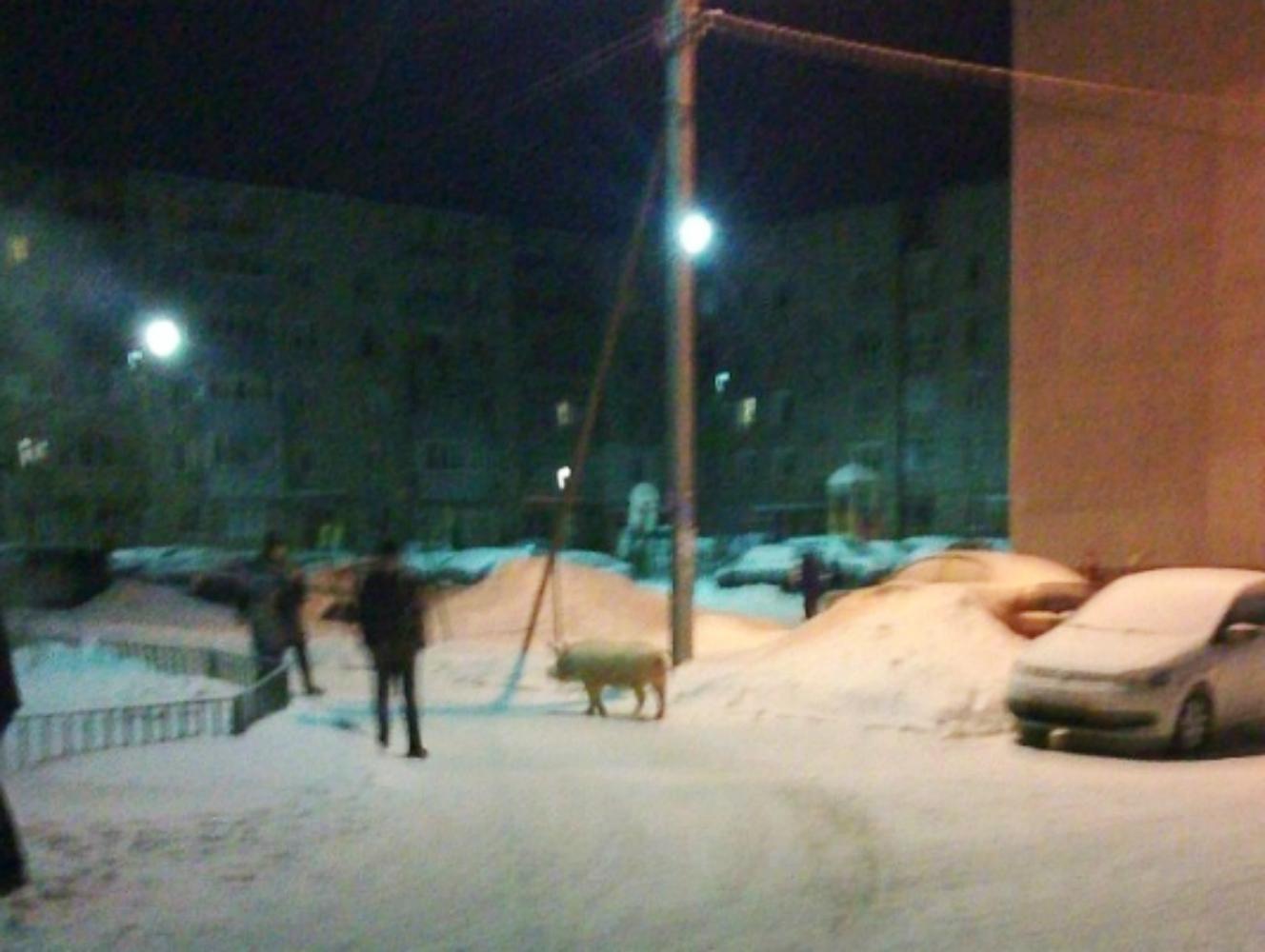 Ярославцы заметили животное, бегающее по дворам