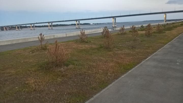 «Полейте в качестве эксперимента»: на новой набережной Волгограда высохла аллея ёлок-«подростков»