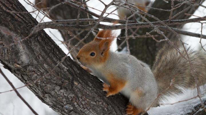 В Советском парке белки начали линять к весне