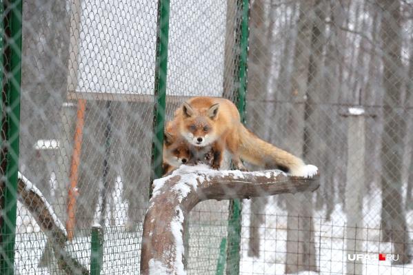 У здоровой лисы хвост пушистый, говорят знатоки