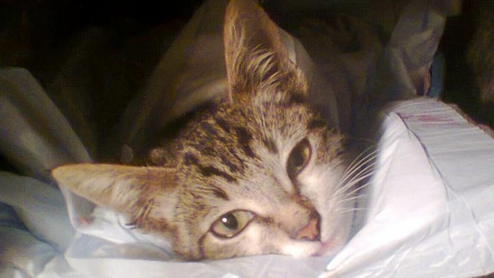 «Богдаша убежал на радугу»: в Уфе скончался котёнок, которому живодеры оторвали лапы