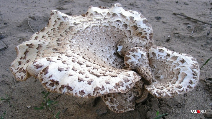 В Волгоградской области 77 человек отравились грибами