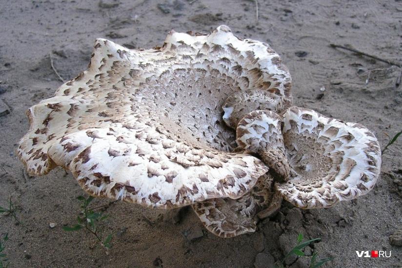 какие грибы можно собирать в волгоградской области