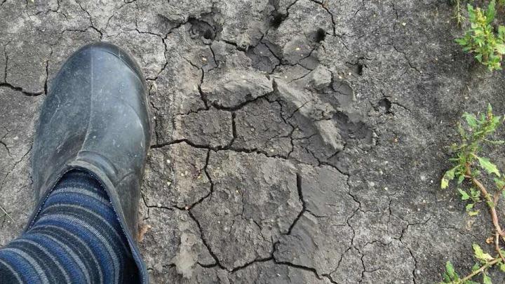В тюменском селе голодный медведь напал на стадо овец