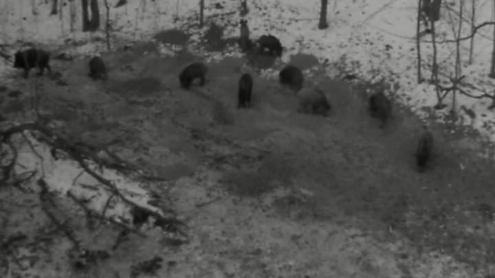 В Башкирии на камеру попали дикие кабаны
