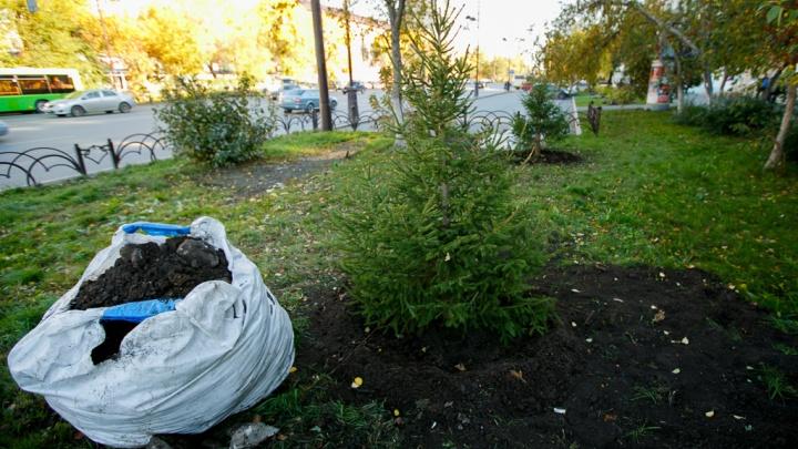В Тюмени с начала года посадили3666 новых деревьев с гарантией