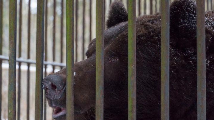 Завод в Прикамье, на котором живет медведь, обвинили в нарушении закона из-за видео в интернете