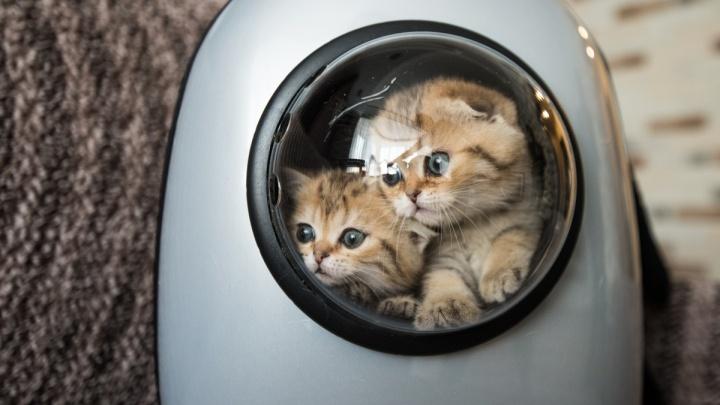 Бизнес на котиках: екатеринбурженки завели дома кошек стоимостью больше полумиллиона рублей