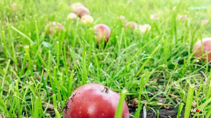 «Куда их деть?»: челябинцы, отчаявшиеся справиться с урожаем яблок, делают «закладки» у дорог