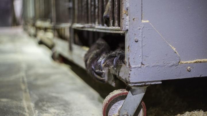 Медвежий угол: журналист НГС попала в гараж, где замурованы 5 медведей