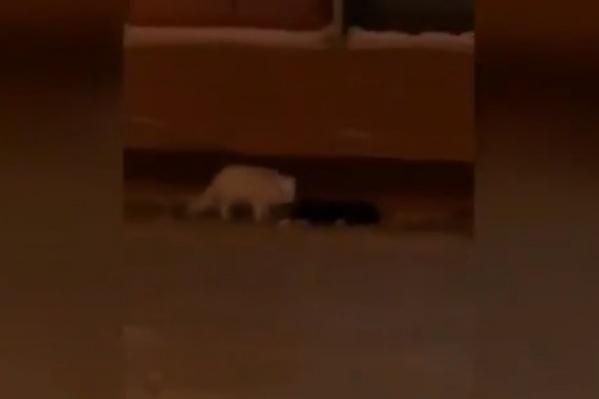 Белоснежный хищник бегал по тротуару на Ленинском проспекте