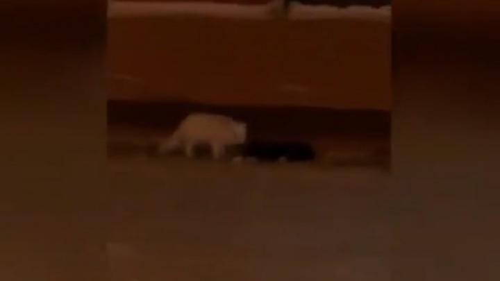 К бегающему на улицах Норильска волку добавился полярный песец