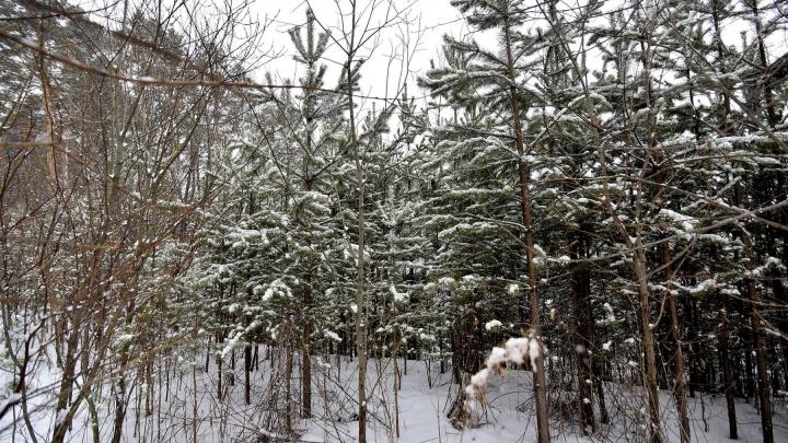 На Урале почти в полтора раза выросли цены на елки, которые можно рубить для Нового года