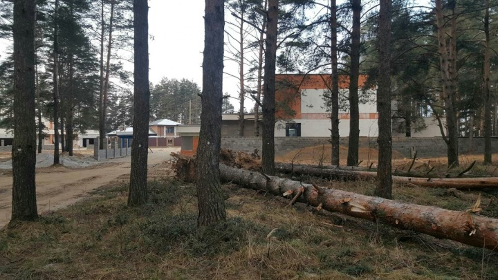 Сосновый бор могут снести под стройку? За Волгой массово пометили деревья
