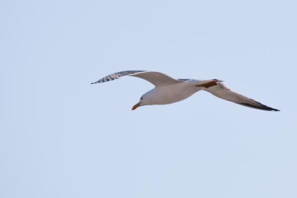 Бурое оперение — признак того, что эта молодая птица