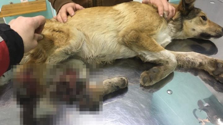 Добрые красноярцы спасают щенка с оторванными задними лапками