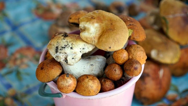 «Первый слой» и первое разочарование: разбираемся, где в Омской области можно найти июльские грибы