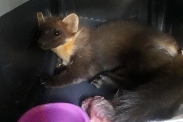 После лечения зоозащитники планируют выпустить куницу в природу