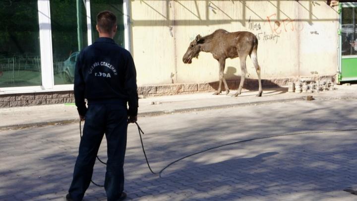 Лось в Уфе: животное лбом пробило витрину и скончалось до приезда ветеринаров