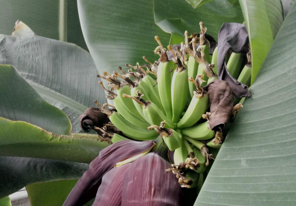 Уральские бананы пока еще совсем зеленые. Чтобы дозреть, плодам нужно в среднем четыре месяца