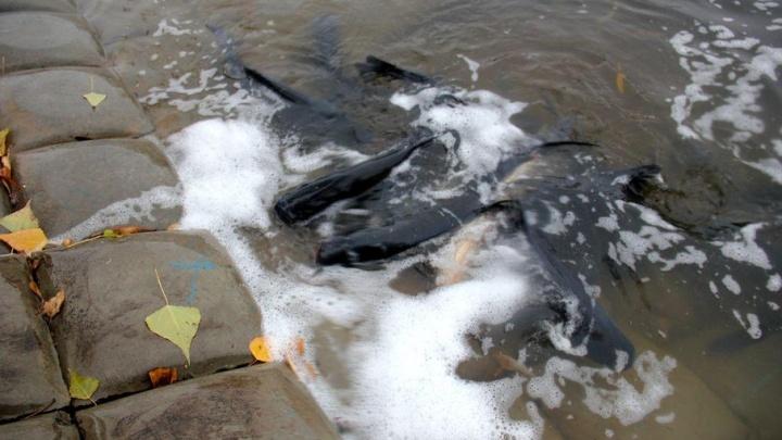 Уфимцы пожаловались на гибель рыбы в озере парка Якутова