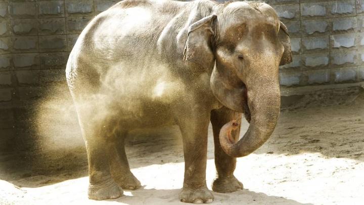 Екатеринбуржцев призвали приносить тыквы с огородов для слонихи Даши, похудевшей во время диеты