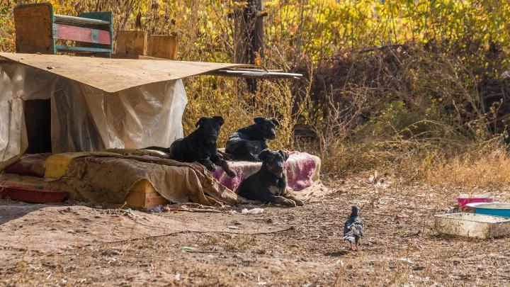 Губдума: в Самарской области некому ловить бездомных животных
