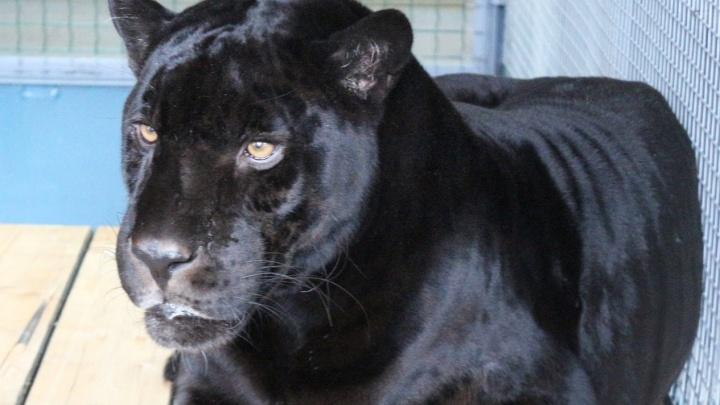 Серьёзный цирковой чёрный ягуар поселился в красноярском зоопарке