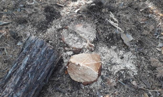 Пожилой зауралец заплатит миллионный штраф за незаконную рубку деревьев