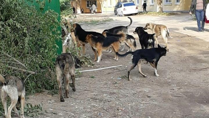 «Их больше тридцати»: свора собак терроризирует школу в Советском районе Волгограда