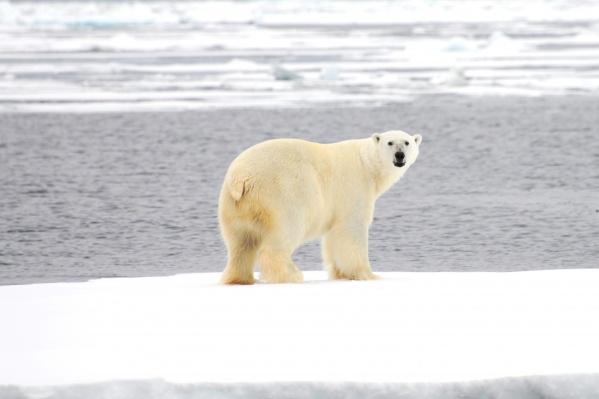 От таяния льдов в Арктике страдают все ее обитатели: от планктона до белых медведей