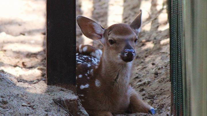 Смотрите, какой очаровательный носик! В нижегородском зоопарке родился пятнистый олененок