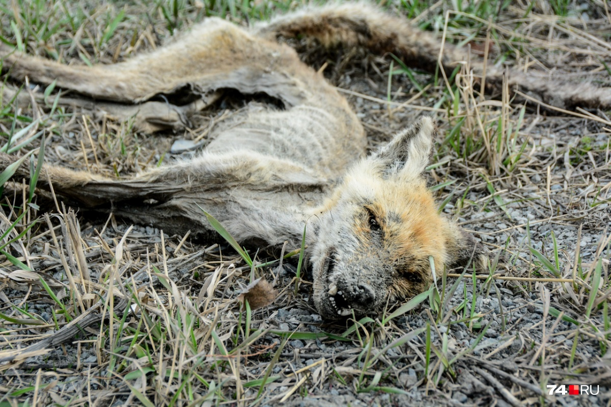 Ради драматизма мы могли бы сказать, что эта лисичка умерла от радиации, но, вероятнее всего, её сбила машина