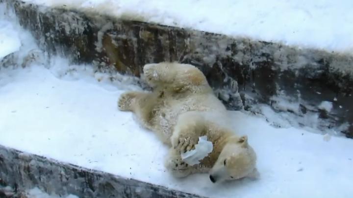 В новосибирском зоопарке сняли смешное видео, как медвежата роют ямы в снегу и играют со льдинками